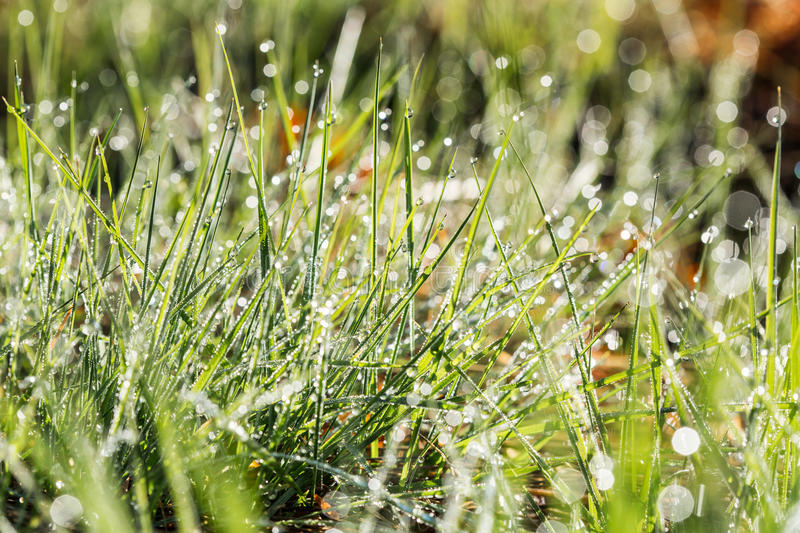 Row of early dew drops on blades of grass illuminated by the rising sun. Row of early dew drops threaded on blades of grass illuminated by the rising sun stock image