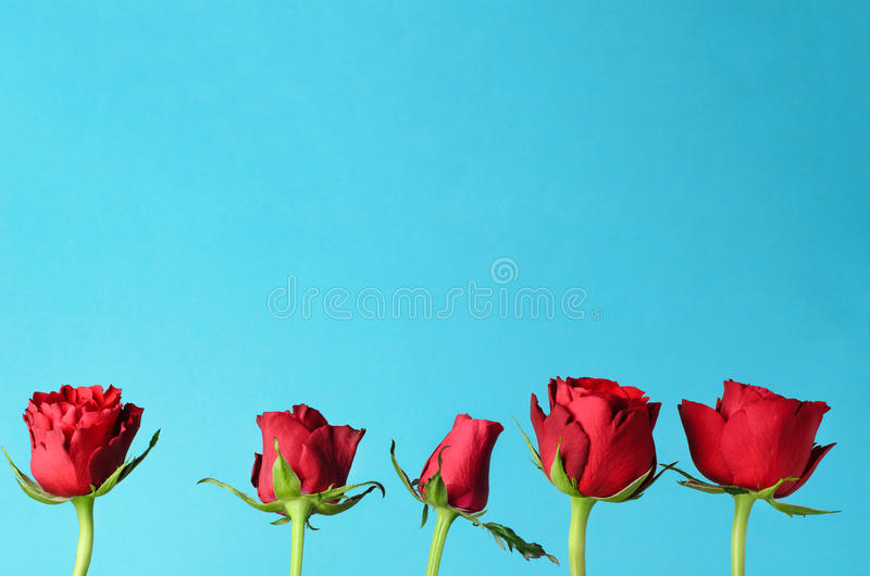 Row of Five Red Roses Standing Upright against Light Blue Background. Five individual red roses, lined up in an upright row against a light, bright blue royalty free stock photos
