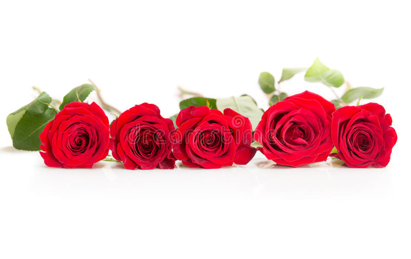 Row of five roses on white background royalty free stock photos