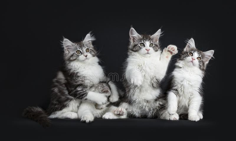 Row of four playing black tabby with white Maine Coons cats stock photos