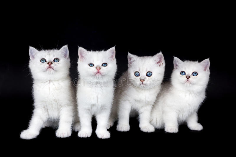 Row of four white kittens on black background royalty free stock photography
