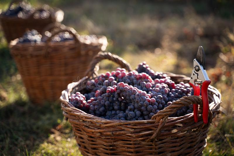 Row of freshly harvested grapes in wicker baskets royalty free stock photos