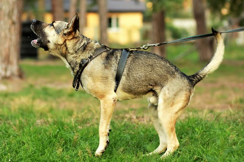 Happy young german shepherd dog barking and spitting on the grass in the forest. Young german shepherd dog barking and spitting on the grass in the forest stock photo