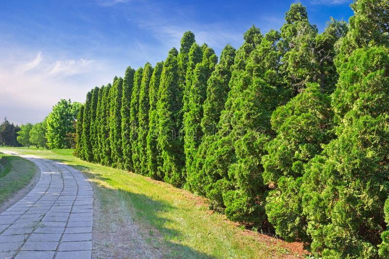 Row of green cypress trees. A row of green cypress trees in the park. Cupressus is one of several genera within the family Cupressaceae that have the common name royalty free stock images
