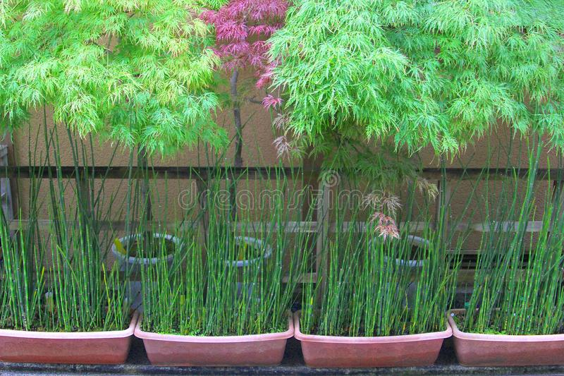 Row Green Red Bamboo Plants Pots Japan Stock Image Image Of