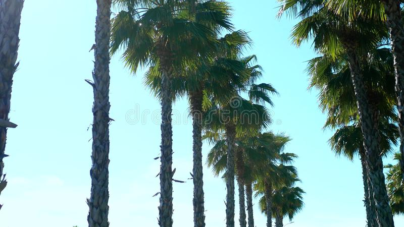 Row of long palm trees against a blue sky, soft focus, blurred background. royalty free stock image
