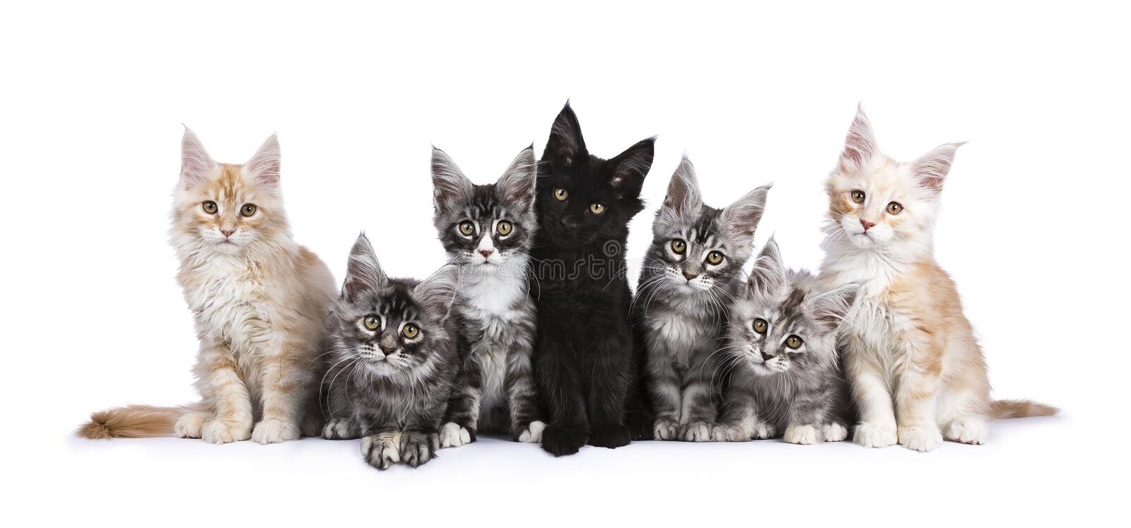 Row of 7 Maine Coon kittens on white. Row of seven Maine Coons facing camera isolated on white background stock photo