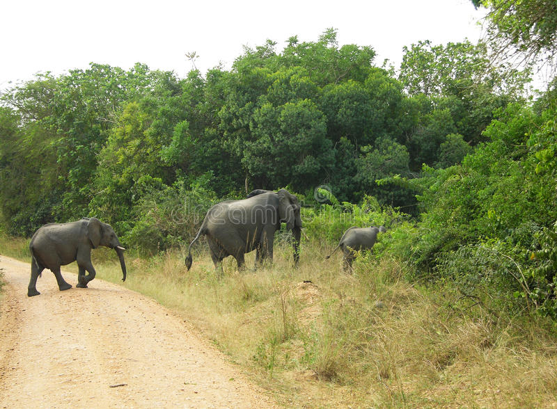 Row mother and baby African elephants crossing track National Park royalty free stock image