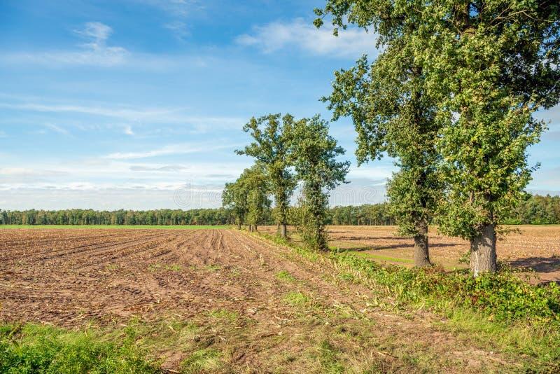 Row of narrow and tall oak trees next to a corn stubble field stock photo