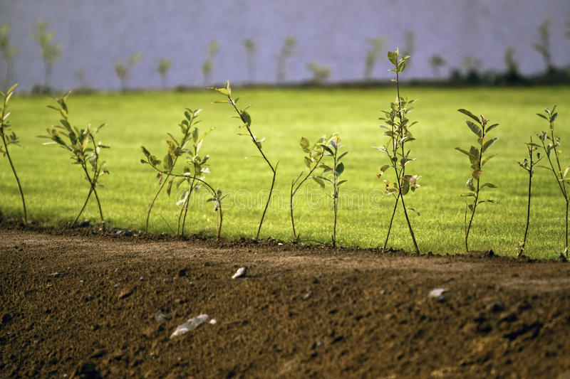 Download A row of new trees stock photo. Image of environment - 15836544