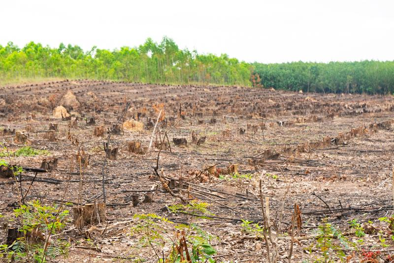 Row old cut dried Tree Stumps caused by deforestation , environmental problems.  stock image