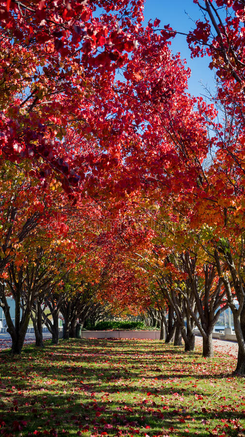A row of ornamental pear trees royalty free stock image