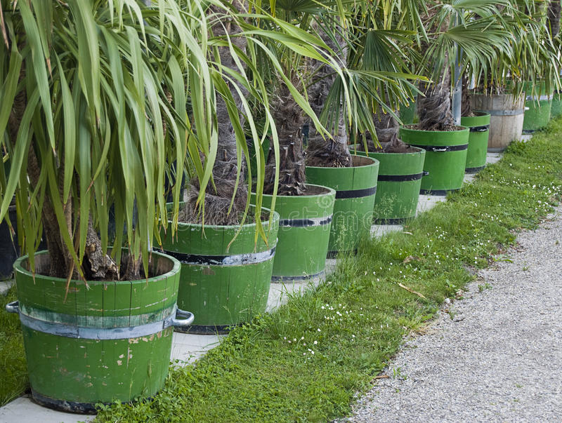 Row of palm tree seedlings. Row of pots with neatly cut palm tree seedlings royalty free stock images