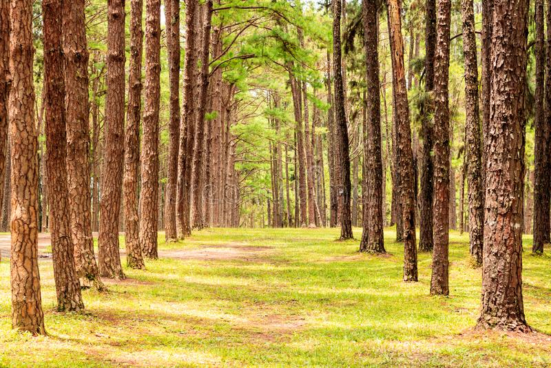 Row of pine trees stock photography
