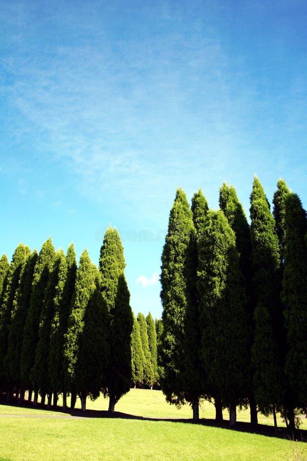 Row Of Pine Trees Stock Image