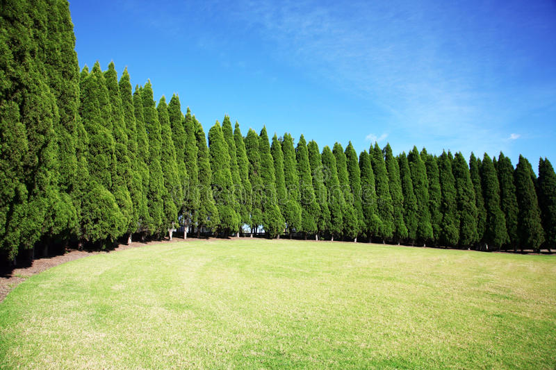 Row of pine trees. Long row of tall pine trees royalty free stock images