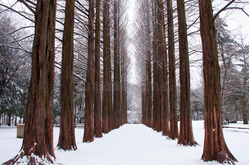 Download Row of pine trees stock photo. Image of winter, landscape - 27453548