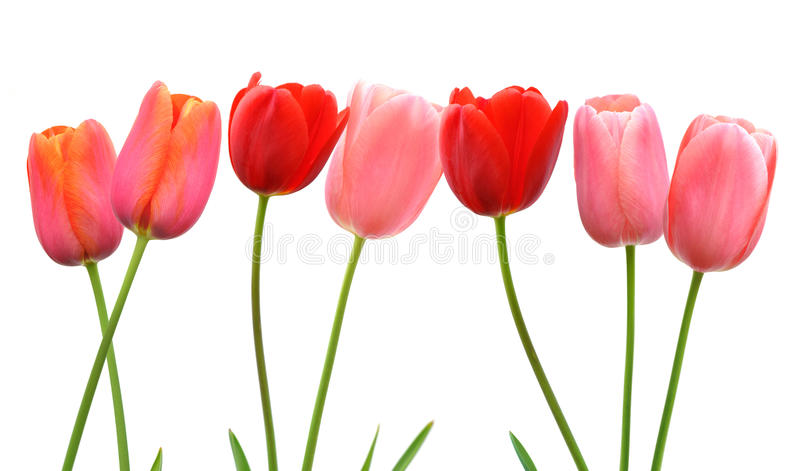 Row of pink and red spring tulip flowers on white background royalty free stock images