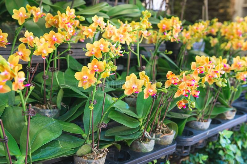 Row of potted orchids in store. Floriculture, flowers, house plants theme. stock image