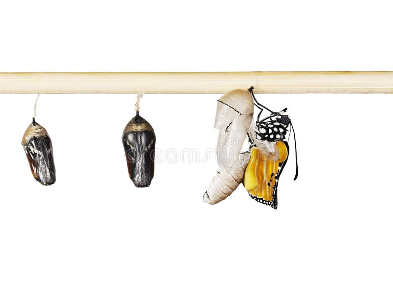 An emerging plain tiger butterfly and pupae on a stick, isolated on white stock photography