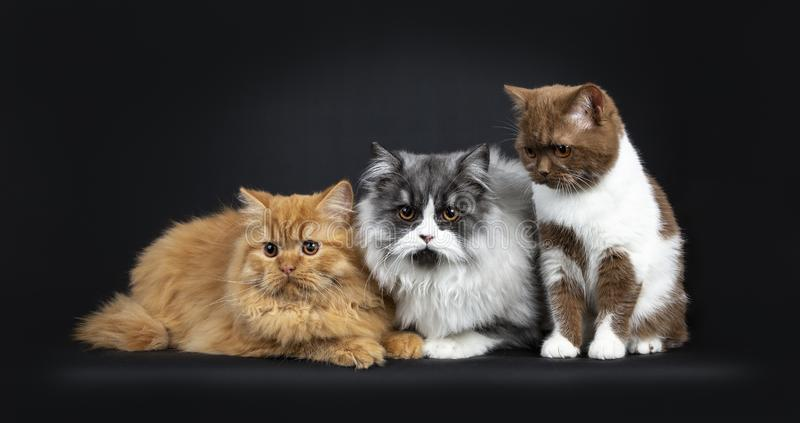 Row of a red and black smoke Britisch Longhair and a cinnamon with white British Shorthair cats kittens. Looking at camera with orange eyes. Isolated on black royalty free stock images