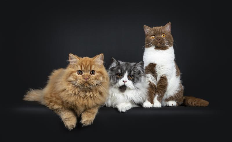 Row of a red and black smoke Britisch Longhair and a cinnamon with white British Shorthair cats kittens. Looking at camera with orange eyes. Isolated on black stock images