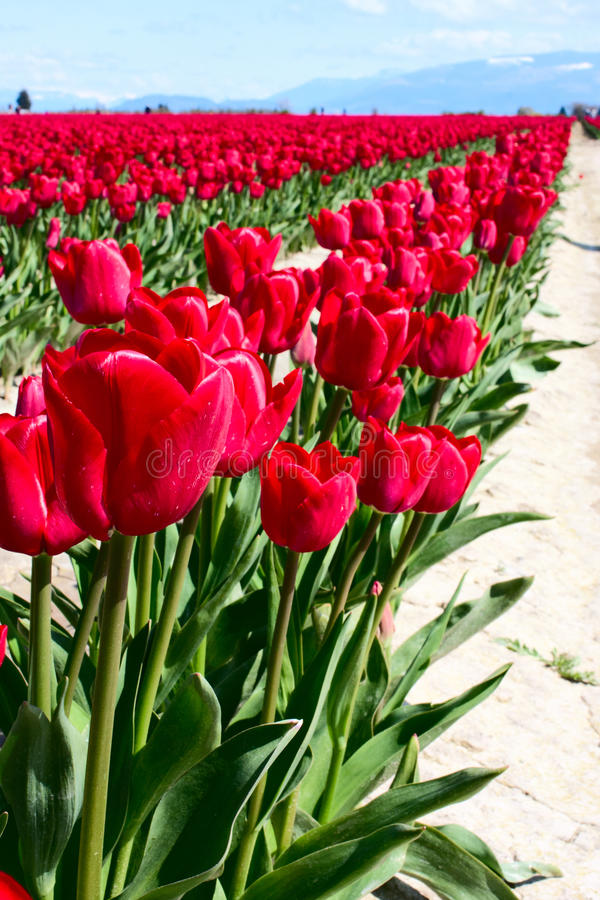Row of red tulips stock photography