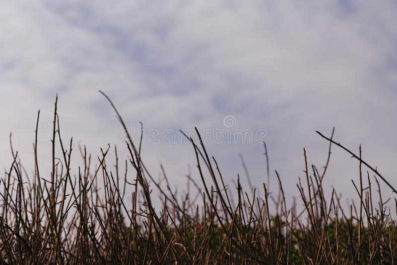 Row of Reeds and View of Clouds and Sky, at a Coastal Trail in Pacifica, California royalty free stock images