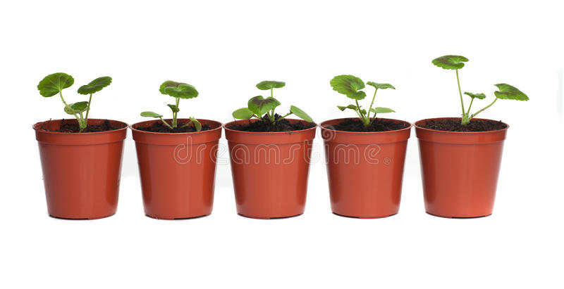 Row of Seedlings in Plastic Pots royalty free stock photography
