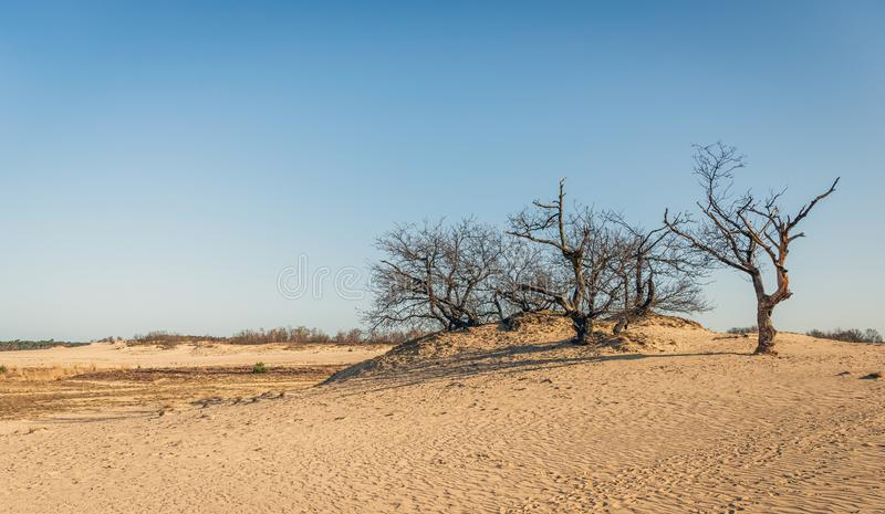 Row of seemingly dead trees on top of a sand dune. On a sunny day in the spring season in the Dutch National Park Loonse en Drunense Duinen near the village of stock image