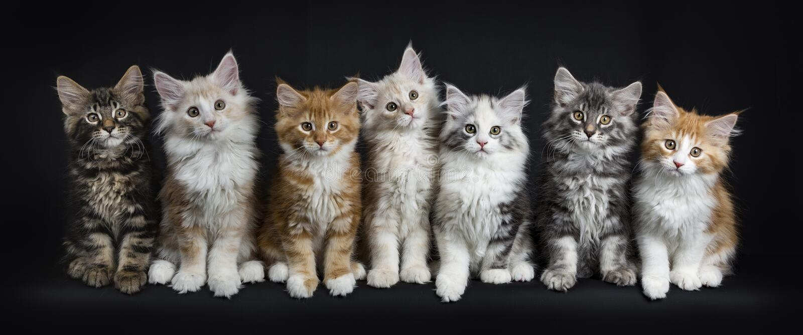 Row of seven maine coon cats on black. Row of seven maine coon cats / kittens looking straight in lens isolated on black background stock images
