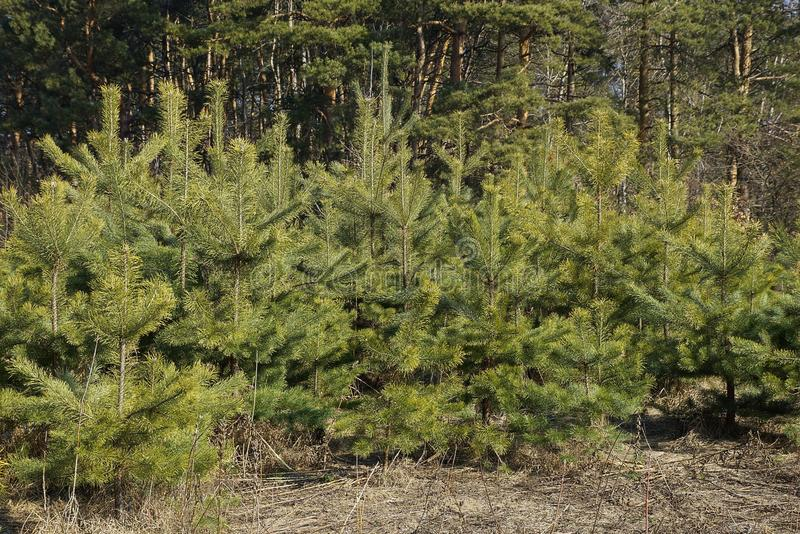 A row of small green coniferous pines in the dry grass stock images