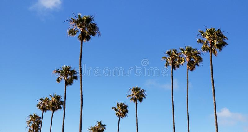 Tall palms against blue sky at Southern California beach town. A row of stately king palms planted in a row along the street in a Southern California beach town stock image