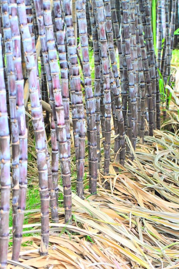 Row of sugar cane. Black sugar cane crops at farm stock image
