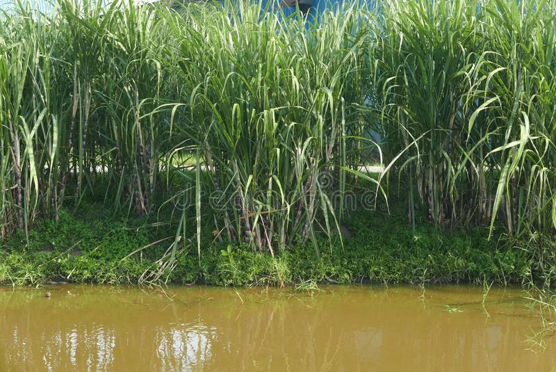 A row of sugar cane plant by the river royalty free stock photography