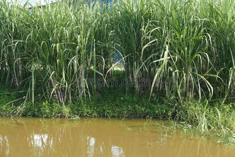 A row of sugar cane plant by the river royalty free stock image