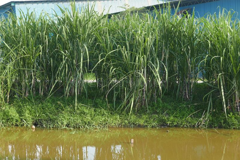 A row of sugar cane plant by the river stock images