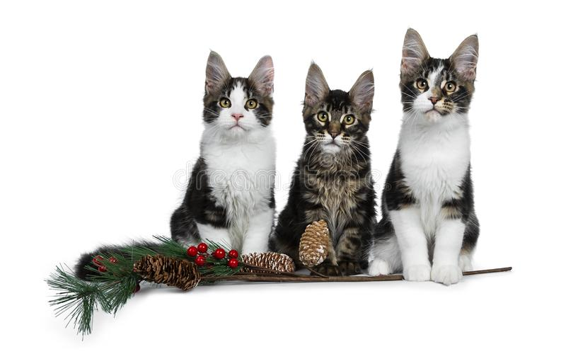 Row of 3 sweet black tabby with white Maine Coon cat kittens Isolated on white background. Row of 3 sweet black tabby with white Maine Coon cat kittens with a stock photos