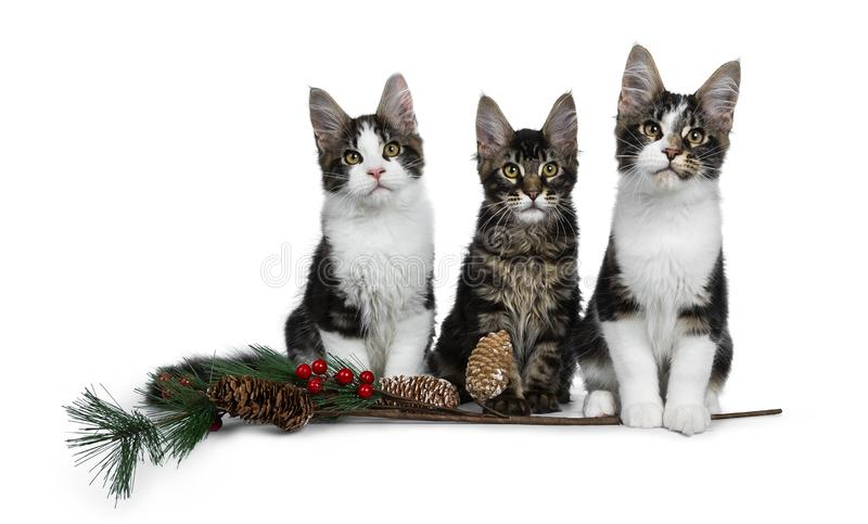 Row of 3 sweet black tabby with white Maine Coon cat kittens Isolated on white background. Row of 3 sweet black tabby with white Maine Coon cat kittens with a royalty free stock images