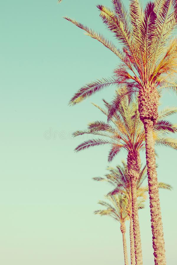 Row of Tall Palm Trees on Toned Light Turquoise Sky Background. 60s Vintage Style Copy Space for Text. Tropical Foliage. Seaside O. Cean Beach Vacation. Hip stock photography
