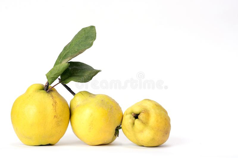 Row of three quinces, an old and traditional kind of fruit, similar to apples and pears stock photos