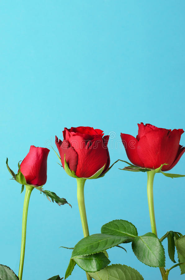 Row of Three Red Roses on Light Blue Background. Three individual red roses, lined up in an upright row against a light, bright blue background royalty free stock image