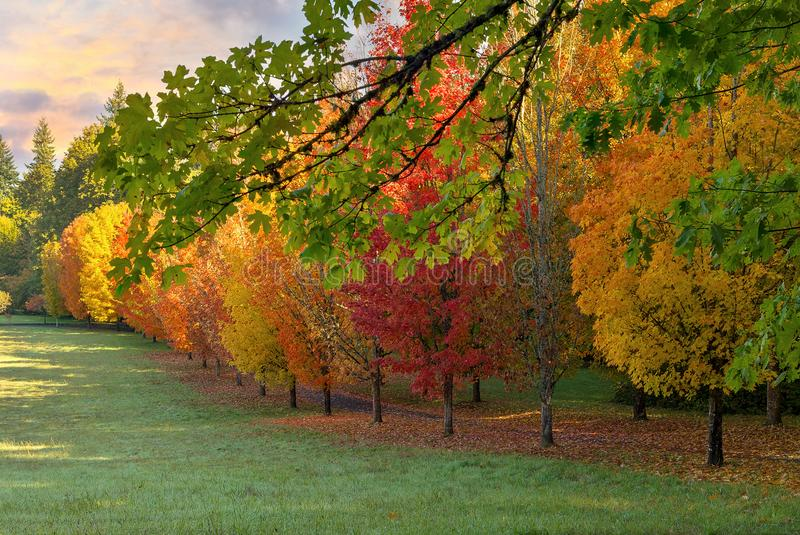 Row of Trees in Peak Fall Colors Oregon USA royalty free stock photo
