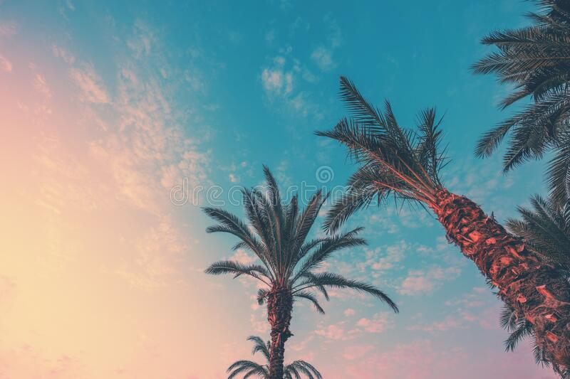 A row of tropical palm trees against a sunset sky. Silhouette of tall palm trees. Tropical evening landscape. Color gradient royalty free stock image