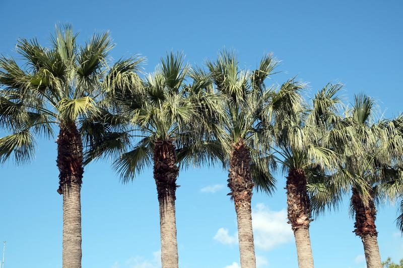 Row of tropical palm trees grows under cloudless blue sky stock photos