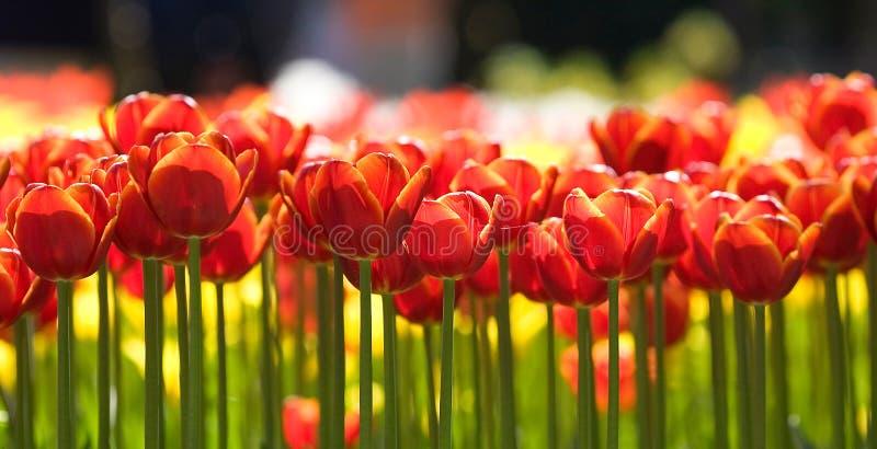 Row of tulips royalty free stock photos