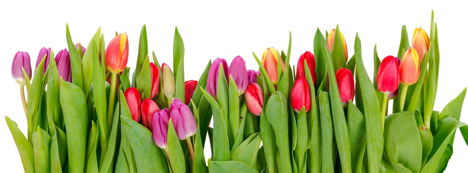 Row of tulips royalty free stock images