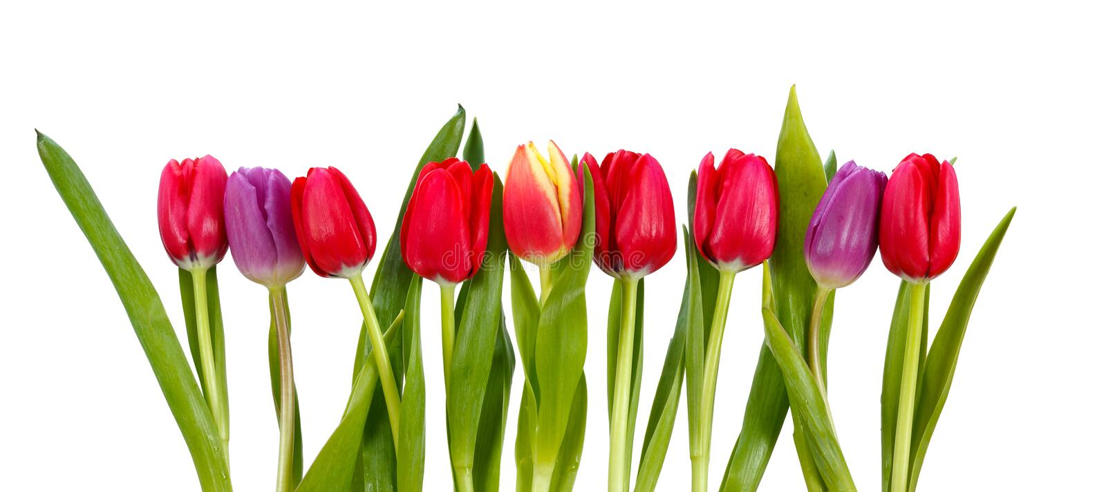 Row of tulips stock images