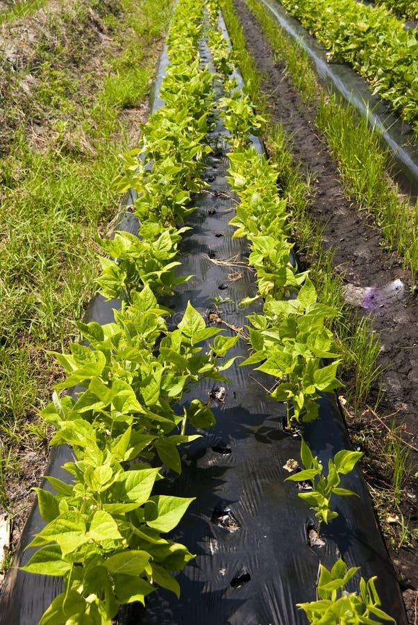 Row of Veggies stock photo