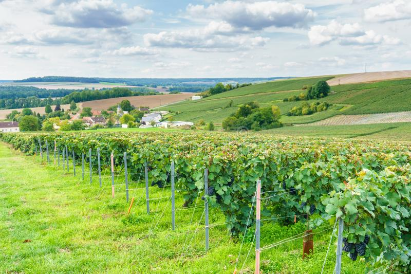 Row vine grape in champagne vineyards at montagne de reims countryside village background royalty free stock images